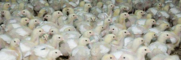 Solagrital – I polli sono spennati