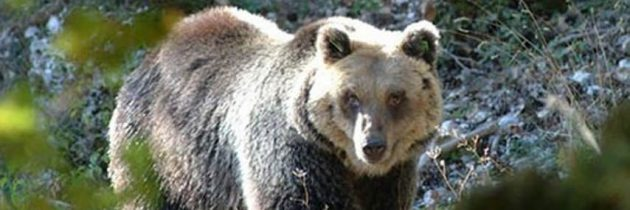 Un appello per l'Orso bruno marsicano
