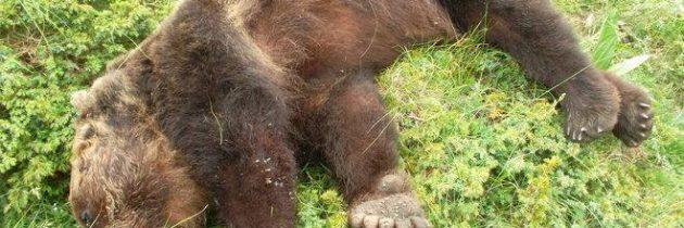 Attentato all'Orso bruno, presentata una Mozione